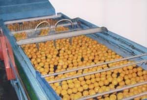Processing Fresh Citrus