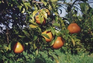 Farm Fresh Orange